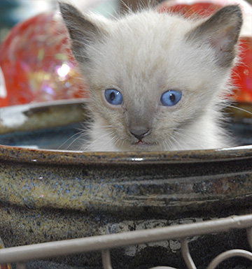 Kitten playing in ceramic bowl